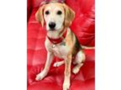 Adopt Diana a Shepherd (Unknown Type) / Beagle / Mixed dog in Canton