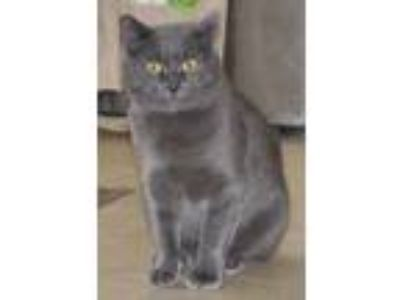 Adopt Stormy - NC a Domestic Short Hair