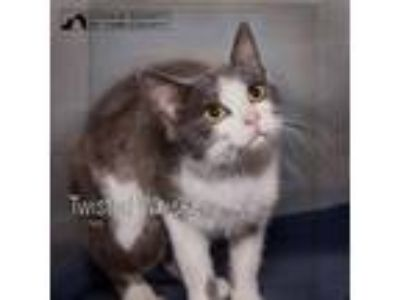 Adopt Twisted Whiskers a Domestic Short Hair