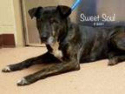 Adopt Sweet Soul a Pit Bull Terrier
