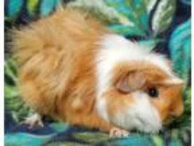 Adopt Stevie a Orange Guinea Pig small animal in Highland, IN (25541213)
