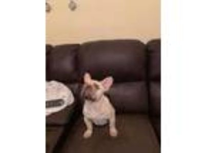 Akc Male French bulldog