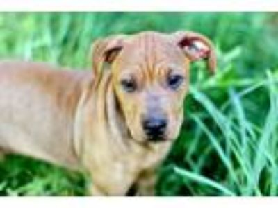 Adopt PUPPY ASPEN a Tan/Yellow/Fawn Shar Pei / Mixed dog in Washington