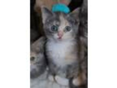 Adopt Salley a Calico or Dilute Calico Domestic Shorthair / Mixed (short coat)