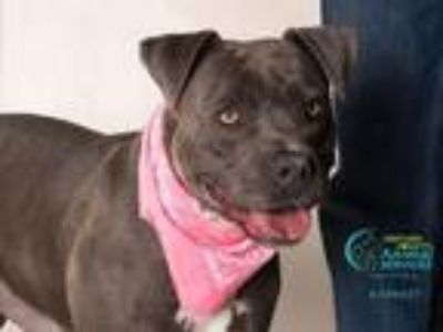 Adopt NINA a American Staffordshire Terrier, Boxer