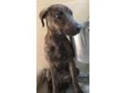Adopt Finn a Brindle Plott Hound / Mixed dog in New Smyrna Beach, FL (25569071)