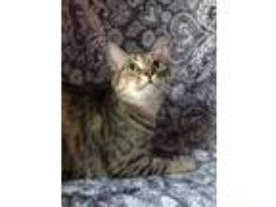 Adopt TORI a Domestic Shorthair / Mixed cat in Dallas, TX (23779310)