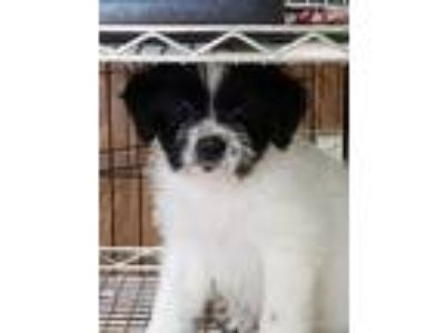 "Adopt Alex "" Male Terrier Puppy "" a Terrier"