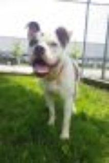 Jordan Pit Bull Terrier Dog