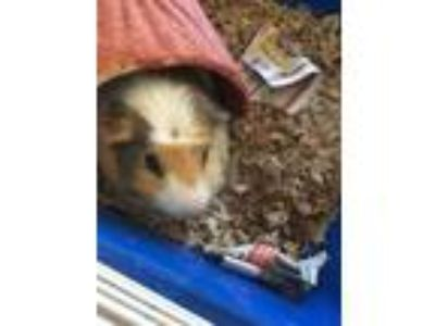 Adopt Wheat Wheat a White Guinea Pig / Guinea Pig / Mixed small animal in