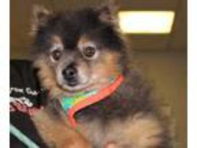 Adopt Louie a Gray/Blue/Silver/Salt & Pepper Pomeranian / Mixed dog in