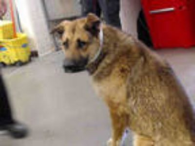 Adopt EMMITT a Black - with Tan, Yellow or Fawn German Shepherd Dog / Mixed dog