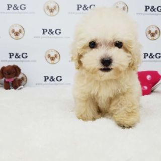 POODLE - ROSE - FEMALE