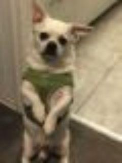 Charlie French Bulldog - Pug Dog