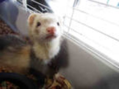 Adopt LEFTY a Brown or Chocolate Ferret / Mixed small animal in Winter Haven