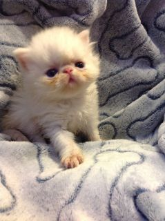 Adorable CFA Persian kittens looking for loving homes