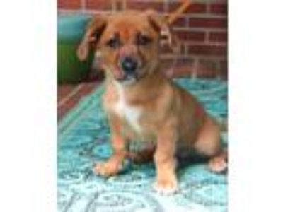 Adopt Sally a Brown/Chocolate - with White Basset Hound / German Shepherd Dog /