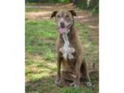 Adopt Tegan a Labrador Retriever