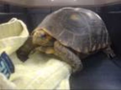 Adopt LILY a Turtle