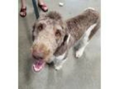 Adopt Bandit a Tan/Yellow/Fawn - with White Labradoodle / Poodle (Standard) /