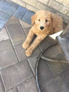 Goldendoodle PUPPY FOR SALE ADN-96479 - Goldendoodle Puppies Ready for their Forever Homes