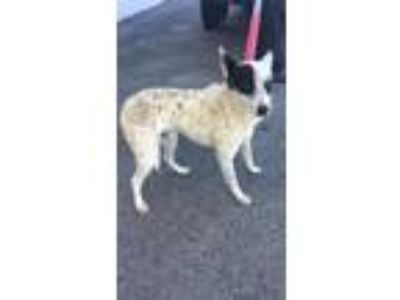 Adopt Lenard a Australian Cattle Dog / Blue Heeler