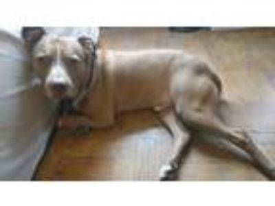 Adopt Goober a Tan/Yellow/Fawn - with White American Pit Bull Terrier / Mixed
