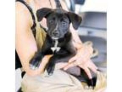 Adopt Veronica a Black Shepherd (Unknown Type) / Labrador Retriever / Mixed dog