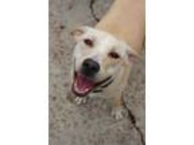 Adopt Samantha a Tan/Yellow/Fawn Hound (Unknown Type) / Mixed dog in New
