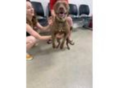 Adopt ADOPTED-ZAYLA a Brown/Chocolate Labrador Retriever / Mixed dog in Fort