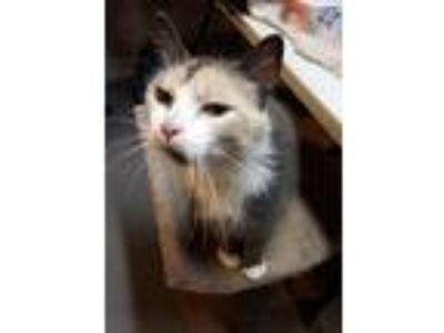 Adopt Possum a Calico or Dilute Calico Domestic Mediumhair (medium coat) cat in