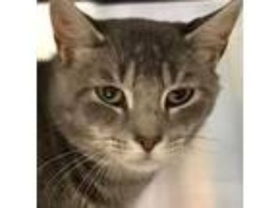 Adopt Thunder a Domestic Short Hair