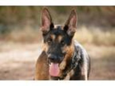 Adopt Chopper a German Shepherd Dog / Mixed dog in Newport Beach, CA (14617970)