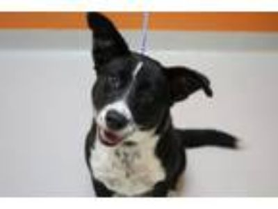 Adopt Sylvie a Border Collie