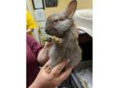 Adopt Expresso a American / Mixed (short coat) rabbit in Fall River
