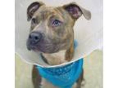 Adopt Teddy a Gray/Blue/Silver/Salt & Pepper American Pit Bull Terrier / Mixed