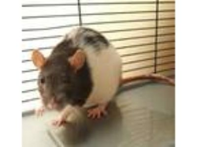 Adopt Poppy a Black Rat / Rat / Mixed (short coat) small animal in Bend