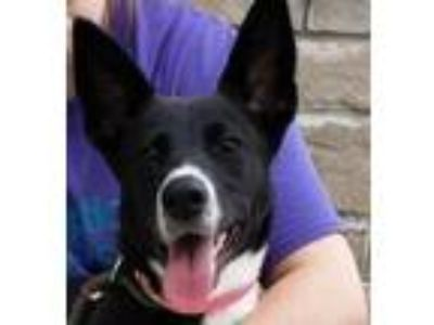 Adopt Gabby a Border Collie, Shepherd