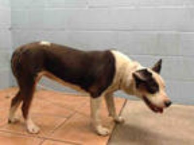 Adopt COCO a White - with Black American Pit Bull Terrier / Labrador Retriever /