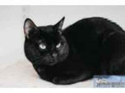 Adopt Toothless a Domestic Short Hair