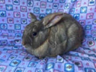 Adopt JUANITA a Fawn Cinnamon / Mixed rabbit in Goleta, CA (23976302)