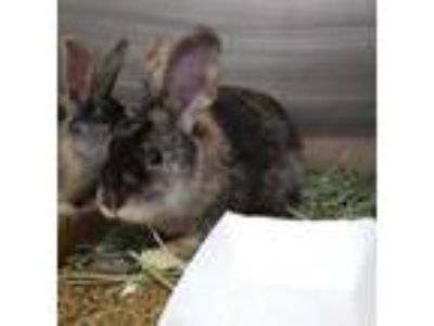 Adopt WOOL a Fawn Other/Unknown / Mixed rabbit in St. Louis, MO (25592370)