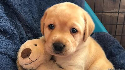 CKC Registered, Yellow Labrador Retriever Puppies