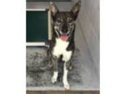 Adopt Trooper a Australian Cattle Dog / Blue Heeler, German Shepherd Dog