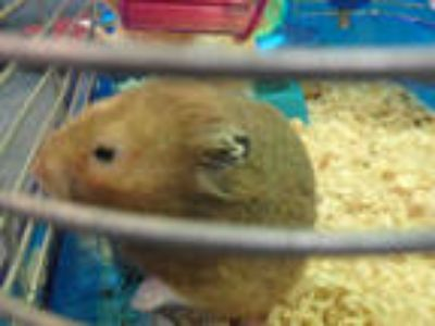 Adopt PETER a Silver or Gray Hamster / Mixed small animal in Chatsworth