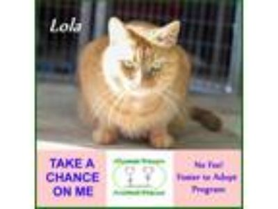 Adopt Lola a Orange or Red Domestic Shorthair / Mixed (short coat) cat in