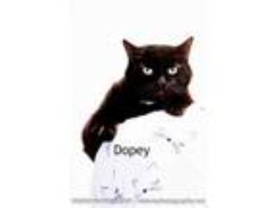 Adopt Dopey a All Black Domestic Shorthair / Domestic Shorthair / Mixed cat in