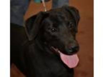 Adopt Bruno a Labrador Retriever