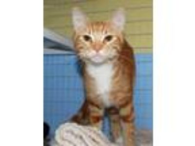Adopt Tigger a Orange or Red Domestic Shorthair / Domestic Shorthair / Mixed cat