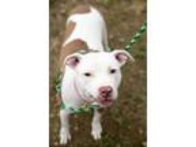 Adopt Dollop 87 a White American Pit Bull Terrier / Mixed dog in Cleveland